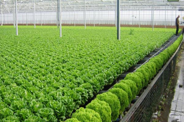 Mô hình kinh doanh trồng rau sạch